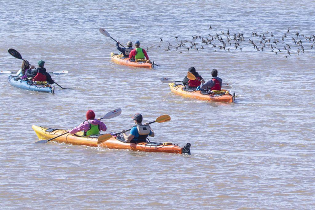 Kayakistes accompagnés de bécasseaux semipalmés